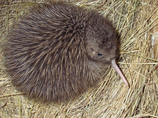Rowi kiwi chick - Department of Conservation