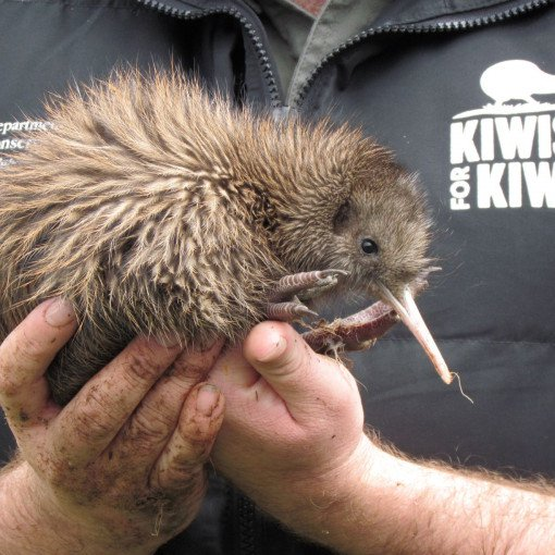 Kiwi chick held in two hands - Kiwis for kiwi