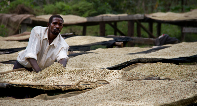 Man working with coffee beans